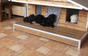 Cuccioli di barboncino toy neri
