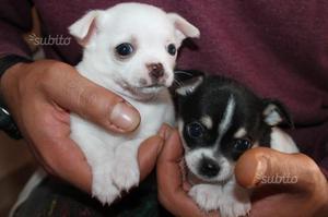 Cuccioli di chihuahua pedigree