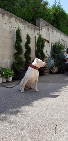 Dogo argentino maschio per monta (esemplare)