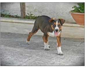 Gary, meticcio simil beagle di 4 mesi