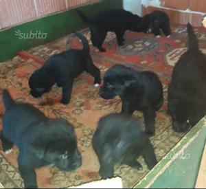 Regalo cuccioli neri di labrador miticcio