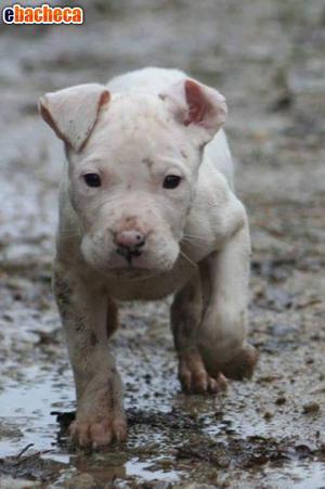 Dogo Argentino Cuccioli