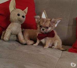 Chihuahua cucciolo maschio a pelo lungo