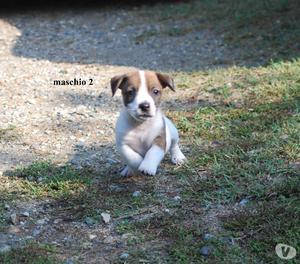 Cucciolo Maschio di Jack Russell Terrier