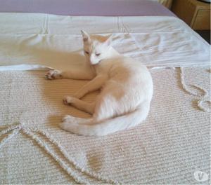 Gattina bianca