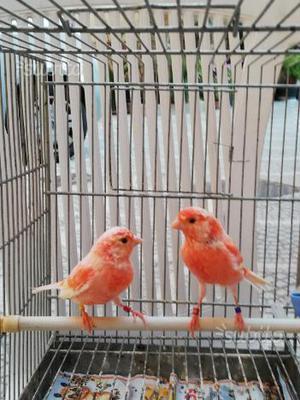 Canarini maschi rosso brinati Foi