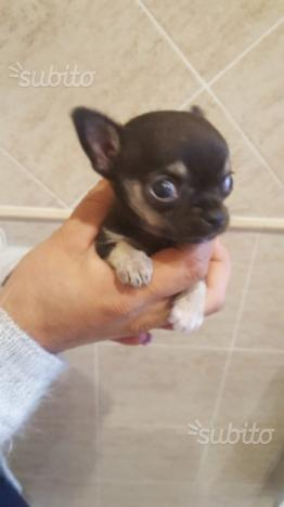 Chihuahua femmina pedigree mini toy