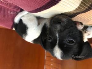 Cucciolo Jack Russel 2 mesi