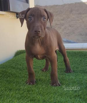 Disponibili cuccioli di Pitbull Ukc