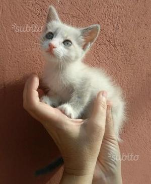 Gattina Bianca incrocio siamese gratis