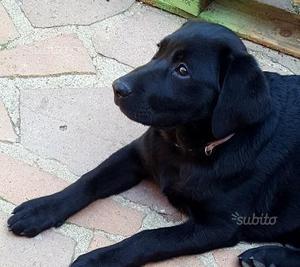 Labrador con pedigree Enci
