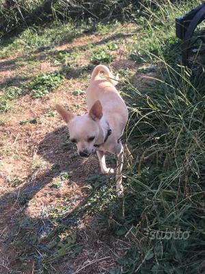 Regalo Chihuahua femmina