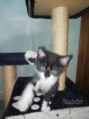 Regalo gattino di 2 mesi