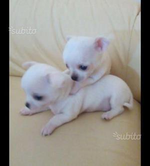 Ultimo cucciolo di chihuahua bianco mini toy
