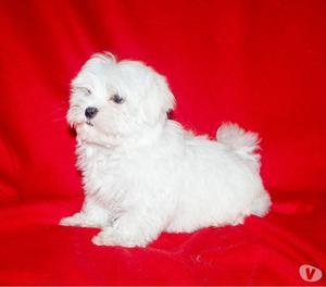 Maltese, cucciolo maschio di taglia piccola, con pedigree