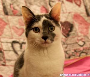 Grigetta, gattina cucciola 7 mesi da adottare Gatto Padova