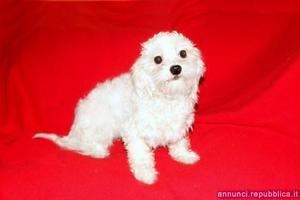 Maltese, cucciolo femmina di taglia piccola Cane Maltese