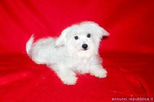 Maltese, cucciolo maschio di taglia piccola Cane Maltese