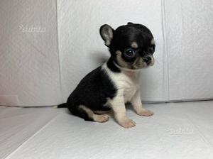 Chihuahua cuccioli adorabili PEDIGREE ENCI
