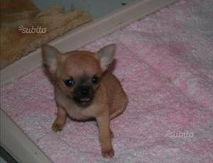 Chihuahua messicani mini mini toy taglia Mosca