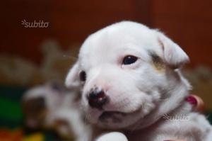 Cucciola di Jack Russell 2 mesi