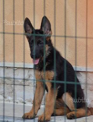 Cucciola pastore tedesco con pedigree