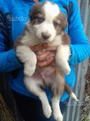 Cuccioli Border collie