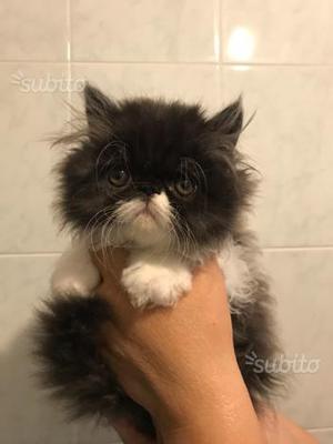 Gatti Persiani ipertipici a pelo lungo