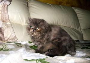 Gatti persiani ipertipici