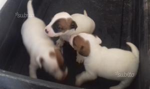 Jack russel terrier zampa corta