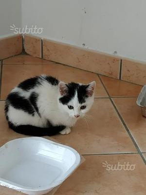 Regalo gatto bianco e nero pelosetto