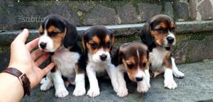 Splendidi cuccioli di beagle tricolore