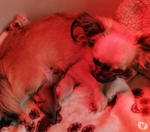Chihuahua micro pelo lungo Pedigree