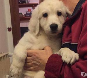 Mulan splendida cucciola 2 mesi incrocio Maremmana!