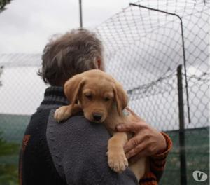 Ercole incrocio Labrador 3 mesi