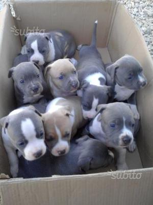 Amstaff cuccioli blu Ast pedigree enci no pitbull