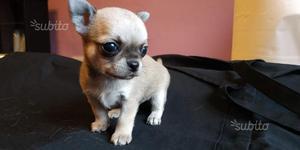Chihuahua maschio a pelo corto