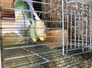 Coppie di cocoriti con gabbia e nido
