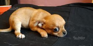 Cucciolo di chihuahua a pelo corto
