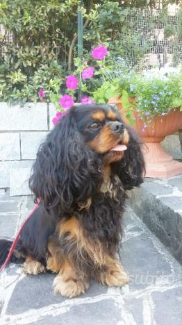 Femmina adulta cavalier king con pedigree ENCI
