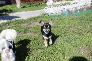 Regalo chihuahua femmina 3 anni