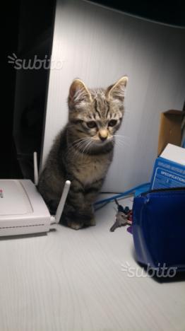 Regalo gattina di due mesi