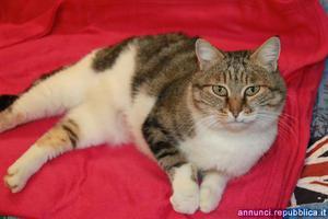 gatta adulta da adottare Gatto Padova