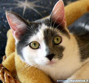 grigetta gattina cucciola 8 mesi Gatto Padova