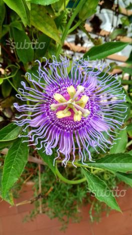 Semi di Passiflora Pina e Incense