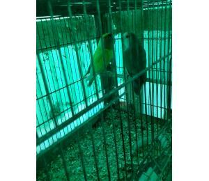 coppie pappagalli inseparabili riprodutt