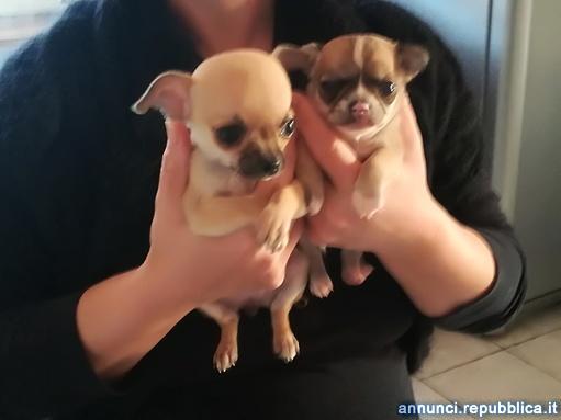 cuccioli chihuahua a pelo corto Cane Chihuahua a Pelo Corto