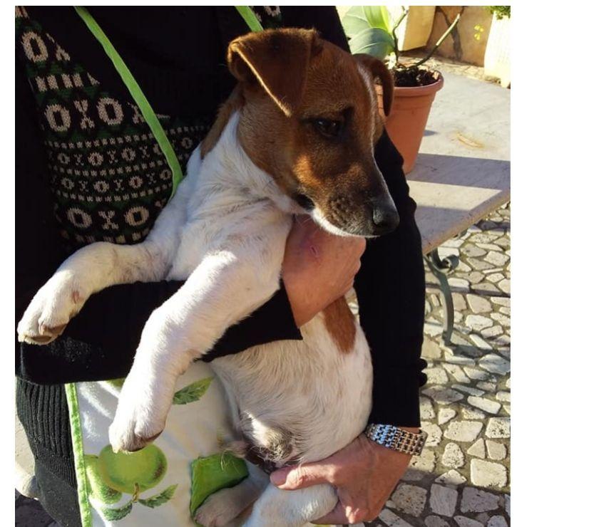 Jack cucciolo di jack russell in adozione