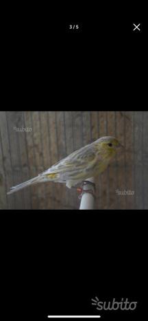 Blocco canarini maschi e femmine
