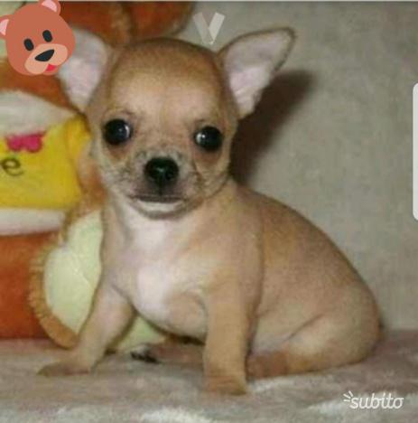 Chihuahua mini toy femmina